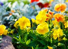 Closeup of colorful blossom pansy flowers in the park. Pansies are plants cultivated for garden. Summer, flowers. Background royalty free stock image