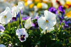 Closeup of colorful blossom pansy flowers in the park. Pansies are plants cultivated for garden. Summer, flowers. Background stock photography