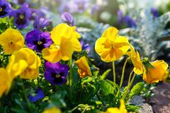 Closeup of colorful blossom pansy flowers in the park. Pansies are plants cultivated for garden. Summer, flowers. Background stock image