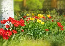 Closeup colorful bright yellow and red flowers tulips in spring garden with birch trees and fence. Flower bed in a warm sunny day. Beautiful floral background stock image