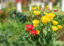Closeup colorful bright yellow and red flowers tulips in spring garden with birch trees. Flower bed in a warm sunny day. Beautiful. Floral background for banner stock photography