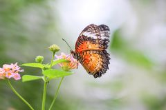 Closeup colorful butterfly on lantana camara flower,natural background. One royalty free stock photos