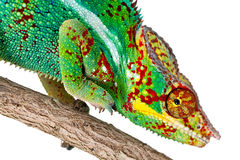Closeup of colorful Chameleon  Royalty Free Stock Photos