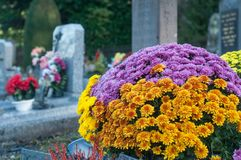 Colorful chrysanthemums flowers in the cemetery. Closeup of colorful chrysanthemums flowers in the cemetery Stock Image