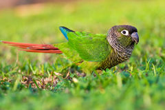 Closeup of a colorful Conure. On grass Royalty Free Stock Photos