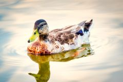 A closeup of a colorful duck on a calm pond. A closeup of a colorful duck swimming on a calm pond royalty free stock photo