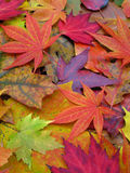 Closeup of colorful Fall leaves Royalty Free Stock Image