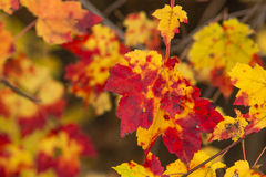 Closeup of Colorful Fall Maple Leaves Royalty Free Stock Images