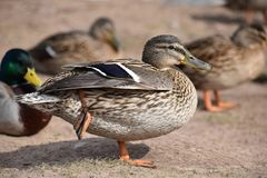 Closeup of a colorful female duck on a lake in Germany. Closeup of a colorful female duck with many other ducks in background on a lake in Germany Stock Image