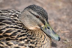 Closeup of a colorful female duck on a lake in Germany. Closeup of a colorful female duck on a lake in Kassel in Germany Stock Photography