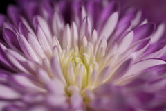 Closeup on a colorful flower Royalty Free Stock Photography