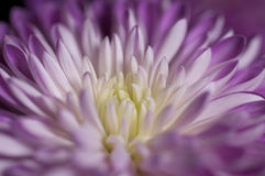 Closeup on a colorful flower Stock Photography