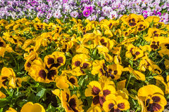 Closeup of colorful horizontal flowerbed made of pink and yellow Stock Photos