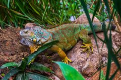 Closeup of a colorful iguana in different colors sitting on a rock, popular tropical reptile pet from America royalty free stock photography