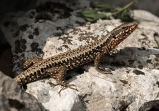 Colorful lizard sitting on a stone in Croatia royalty free stock photos