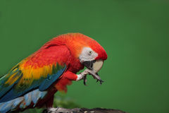 Closeup of colorful macaw. Clreaning its beak Royalty Free Stock Photography