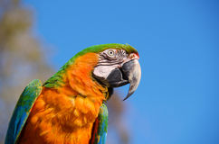 Closeup of a colorful macaw bird Royalty Free Stock Photos