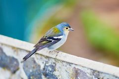 Closeup of colorful Madeiran chaffinch, bird endemic to Madeira Royalty Free Stock Photo