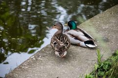 Wild ducks couple near the water. Closeup of colorful Mallard duck near a lake Royalty Free Stock Photography