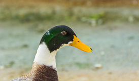Closeup of a colorful Mallard Duck or Wild Duck (male) Royalty Free Stock Photography