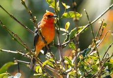 Portrait of Flame-colored Tanager Piranga bidentata. Closeup of a colorful  orange and black male songbird Flame-colored Tanager perching in sunlit green leafy Stock Images