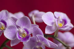 Closeup on colorful orchid Royalty Free Stock Images