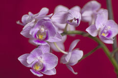 Closeup on colorful orchid Stock Photography