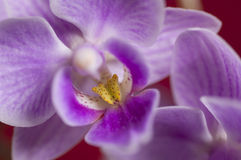 Closeup on colorful orchid Royalty Free Stock Photo