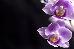 Closeup on a colorful orchids Stock Images