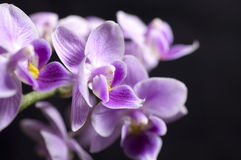 Elegant pink orchid isolated over a black background Stock Photos