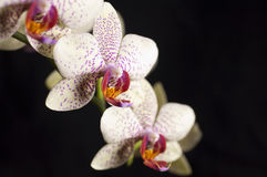 Elegant orchid isolated over a black background Royalty Free Stock Photography
