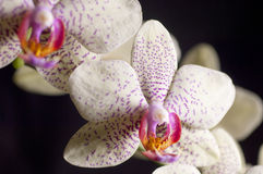 Closeup on a colorful orchids Royalty Free Stock Photography
