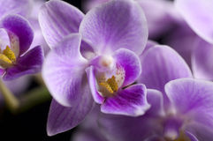 Elegant pink orchid isolated over a black background Royalty Free Stock Photos