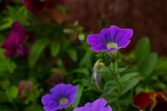 Closeup of colorful Petunia flowers (Solanaceae) Stock Photos