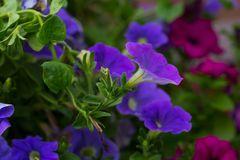 Closeup of colorful Petunia flowers (Solanaceae) Royalty Free Stock Photo