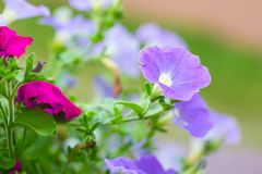 Closeup of colorful Petunia flowers (Solanaceae) Stock Image