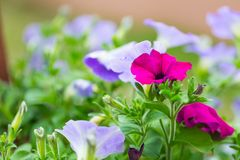 Closeup of colorful Petunia flowers (Solanaceae) Royalty Free Stock Photography