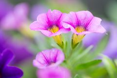 Closeup of colorful Petunia (Solanaceae) Stock Images