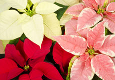 Closeup of Colorful Poinsettia Royalty Free Stock Photos