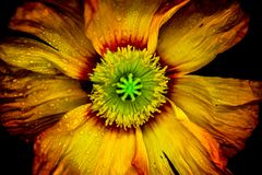 Closeup on colorful poppy flower in. Red and yellow with green stamp in front of dark background stock images