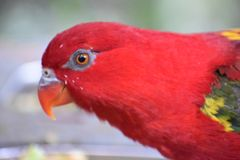Closeup of a colorful red Australian King Parrot stock images