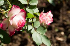 Closeup colorful rose flowers on tree, Sweet love concepts, Romance concepts, Macro images. Closeup colorful rose flowers on tree, Sweet love concepts, Romance Royalty Free Stock Photo