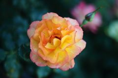 Closeup of the colorful rose Sahara in the rose garden. royalty free stock image