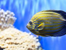 Closeup of Colorful Tropical Fish. Colorful Tropical Fish with Horizontal Striped Pattern wth Blue Water Background Royalty Free Stock Photo