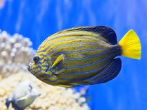Closeup of Colorful Tropical Fish. Colorful Tropical Fish with Horizontal Striped Pattern wth Blue Water Background Stock Photo