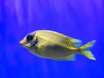 Closeup of Colorful Tropical Fish with Spots. Closeup of a beautiful and colorful tropical fish with spots pattern against blue water background Stock Photos