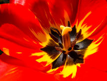 Flashy Bright and Colorful Tulip Petals - Closeup. Bright rich red petals with a deep yellow feathered accent  contrasted by a dark star-like center showing Royalty Free Stock Photo