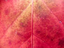 Closeup Of Colour Changing Leaf royalty free stock images