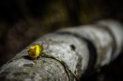 Coltsfoot On Tree Trunk. Closeup of coltsfoot on a fallen tree trunk in a Finnish forest Stock Images