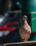 Closeup Columbidae bird on the floor Stock Images
